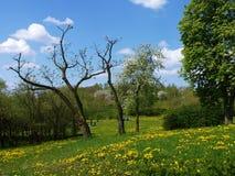 Den blommande maskrosen bland träden i stad parkerar Arkivbild