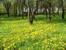 Den blommande maskrosen bland träden i stad parkerar Royaltyfri Foto