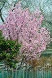 Den blommande orientaliska körsbäret Royaltyfria Bilder