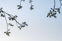 Den blommande pilen i parkerar, mot bakgrunden av den bl?a himlen f?r v?ren royaltyfria foton