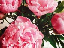 Den blommande pionen royaltyfria bilder