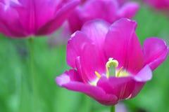 Den blommande purpurfärgade tulpan Arkivbilder