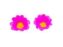 Den blommande rosa färgblomman på isolerad vit Fotografering för Bildbyråer