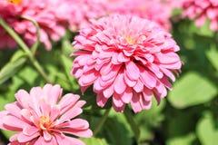 Den blommande rosa färgen blommar i trädgården arkivbild