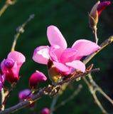 Den blommande rosa magnolian blommar i vår Arkivfoton