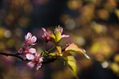 Den blommande sakuraen i trädgård Arkivfoton