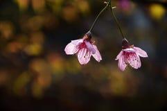 Den blommande sakuraen i trädgård Royaltyfri Foto
