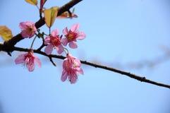 Den blommande sakuraen i trädgård Arkivbilder