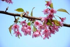 Den blommande sakuraen i trädgård Royaltyfri Bild