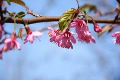 Den blommande sakuraen i trädgård Arkivfoto