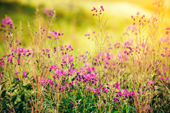 Den blommande sallyen blommar i fältet Arkivfoton