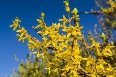 Den blommande vårgulingbusken blommar - forsythiaintermedia Royaltyfri Foto