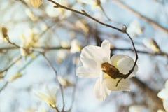 Den blommande vita magnoliablomman i blå himmel, naturbakgrund, magnolia blommar Royaltyfri Fotografi
