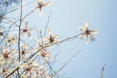 Den blommande vita magnolian i den blåa himlen, naturbakgrund, magnolia blommar Arkivfoto