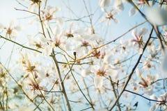 Den blommande vita magnolian i den blåa himlen, naturbakgrund, magnolia blommar Arkivfoton