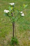 Den blomstra aroniyaen (bergaska) svart-bar frukt (den Aronia melanocarpaen (Michx ) Elliott) arkivbilder