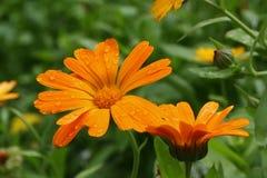 den blomstra calendulaen tappar vatten Arkivfoton