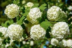Den blomstra guelder-rosen i en vårträdgård arkivbilder