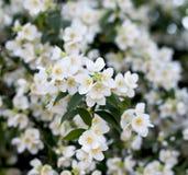 Den blomstra jasminfilialen Arkivfoton