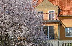 Den blomstra körsbäret mot bakgrunden av ett gammalt hus av den tyska konstruktionen i Kaliningrad Royaltyfria Foton
