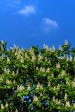 Den blomstra kastanjen Stad Royaltyfria Bilder