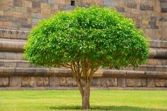 Den blomstra treejasminen med gräsplan lämnar Arkivfoton