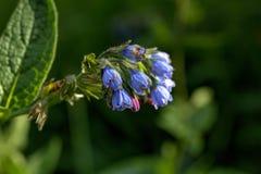 Den blomstra vallörten Royaltyfri Fotografi