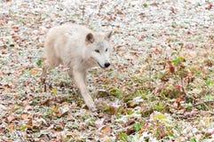 Den blonda vargen (Canislupus) kör framåtriktat ivrigt arkivbild