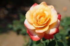 Den Bloomimg drottningen Sirikit steg, ` för den Rosa `-drottningen Sirikit är en blandro Royaltyfri Fotografi