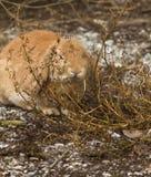 Den blyga kaninen Arkivfoton