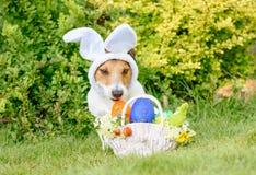 Den blygsamma gulliga hunden som bär kaniner, gå i ax som påskdräkten arkivbild