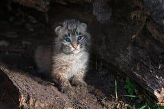 Den Bobcat Kitten Lynx rufusen sitter bara i journal Royaltyfri Fotografi