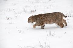 Den Bobcat Lynx rufusen förföljer vänstersida till och med snö arkivbilder