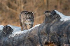 Den Bobcat Lynx rufusen går framåtriktat på journal Arkivbild