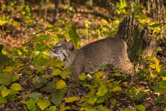 Den Bobcat Lynx rufusen ser upp Royaltyfria Foton