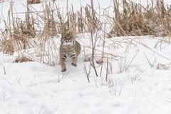 Den Bobcat Lynx rufusen spelar i snön royaltyfri foto