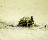 Den Bogged sköldpaddan besegrar i Slime arkivbilder
