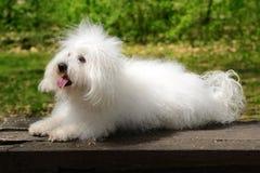 Den Bolognese hunden vilar på bänken Royaltyfri Bild