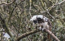 Den bomull överträffade tamarinen med behandla som ett barn Royaltyfri Fotografi