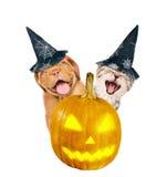 Den Bordeaux valpen och kattungen med hatten för halloween kikar ut bakifrån en pumpa bakgrund isolerad white arkivfoto