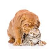 Den Bordeaux valphunden kysser den bengal kattungen Isolerat på vit Arkivfoton
