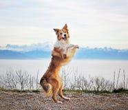 Den Border collie hunden dansar ovanför molnen Arkivfoton