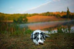 Den Border collie hunden ligger på kusten av sjön royaltyfri bild