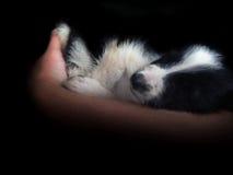 Den Border collie valpen sover Arkivfoton