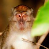 Den Borneo macaquen som ser in i mitt, synar, inte runt om mitt synar, men int royaltyfri bild