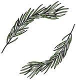 Den botaniska illustrationen med sörjer filialer, sörjer trädet, den drog handen arkivfoton