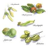 Den botaniska vattenfärgen skissar vektor illustrationer
