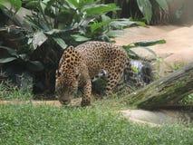 Den brasilianska lösa Jaguar - en onçapintada Royaltyfria Bilder