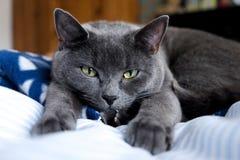 Den brittiska blåa katten som ner ligger, framdelen tafsar ut sträckt in mot th Royaltyfria Foton