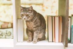 Den brittiska Grey Cat sitter mellan högen av böcker på hyllan, det roliga husdjuret som tonas Arkivfoto